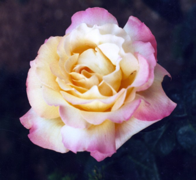 rosenat.jpg
